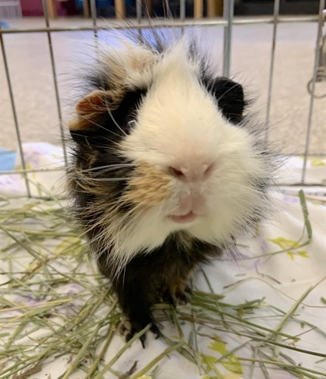 Skidder the guinea pig.