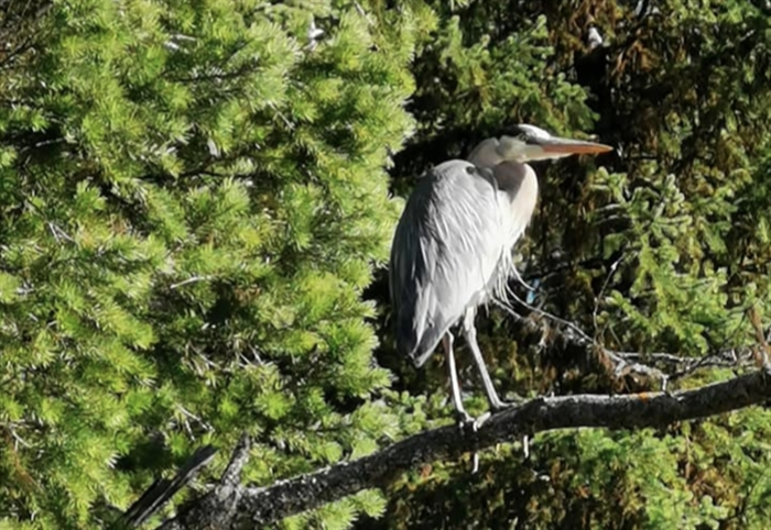 This blue heron was spotted by a kayaker on Brown Lake.