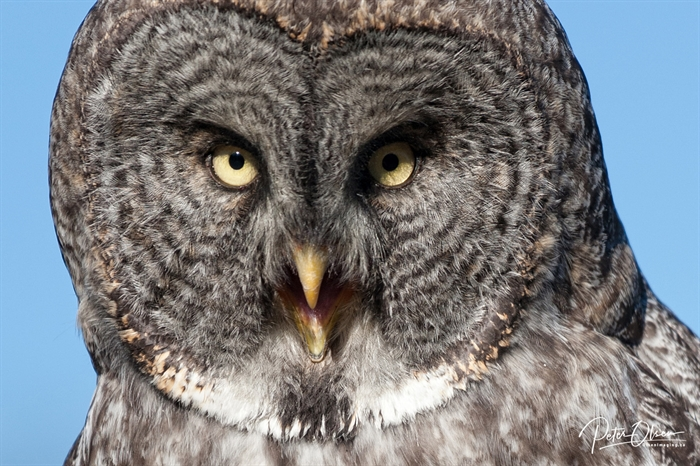 Peter Olsen captured this photo of what appears to be a great grey owl.