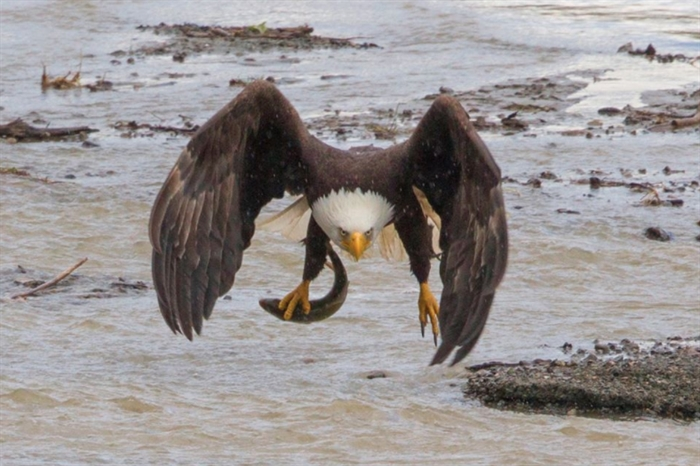 The bald eagles migrate in the winter to find areas with open water.