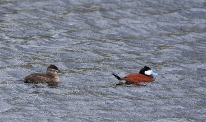 Van Der Wal also captured an image of a pair of ruddy ducks. Howie says the females are likely almost ready to lay their eggs.