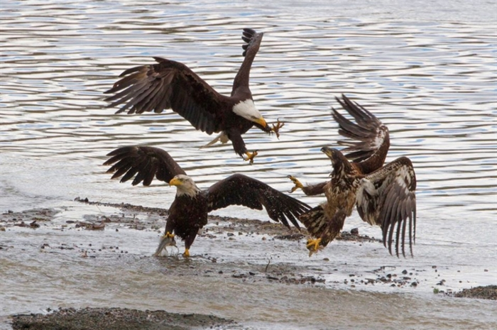 The three eagles are fighting over fish at Shumway Lake.