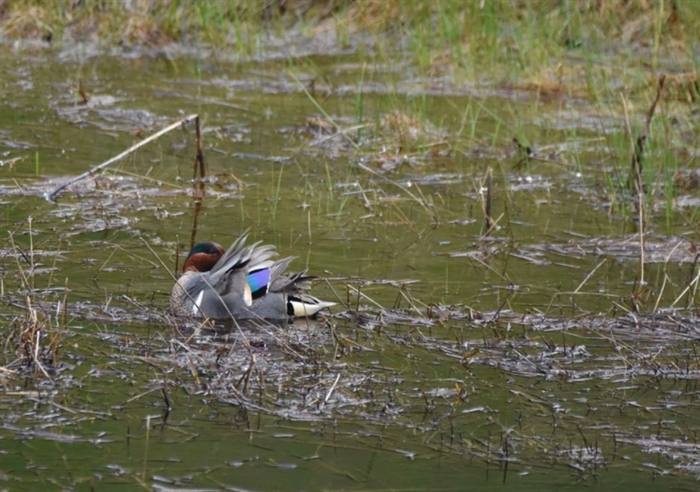 The green-winged teal was spotted by a hiker in the Lac Du Bois Grasslands.