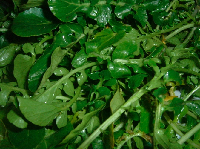 Watercress can be found in slow moving Thompson and Okanagan streams from May to September.