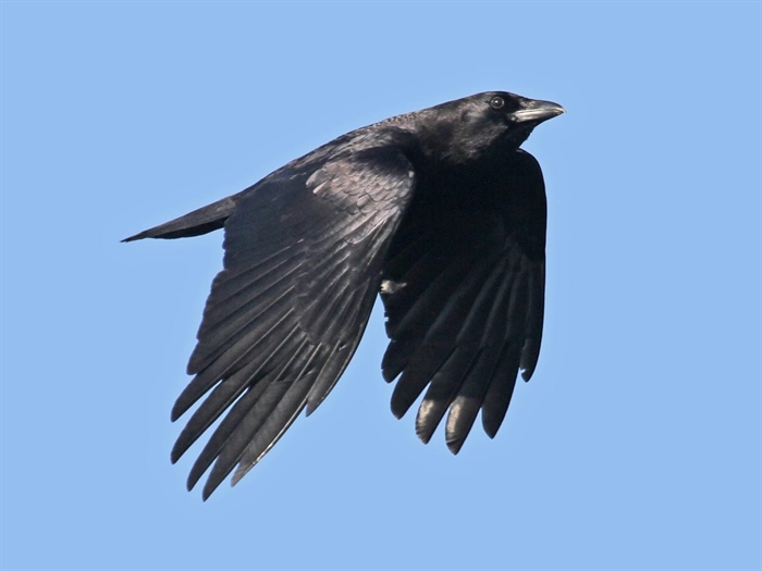 An American Crow in flight, Cornell Laboratory of Ornithology.