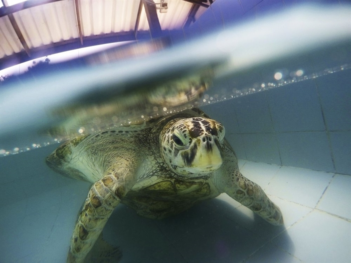 FILE - In this Friday, March 3, 2017, file photo, a female green sea turtle nicknamed Bank swims in a pool at Sea Turtle Conservation Center n Chonburi Province, Thailand. Although scientists have long focused on the world's predators, a massive new study finds that herbivores, critters that eat plants, are the animals most at risk of extinction.