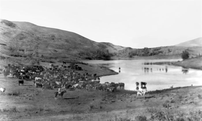 Cattle grazing at Y Lake on the O'Keefe Range.
