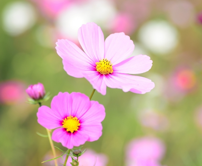 Cosmos are easy to grow, and bloom with bright white, pink, and yellow flowers.