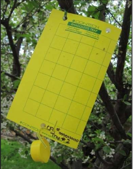 This kind of sticky trap is used to check orchards for Western Cherry Fruit Flies. The yellow colour and odors are used to attract the flies.