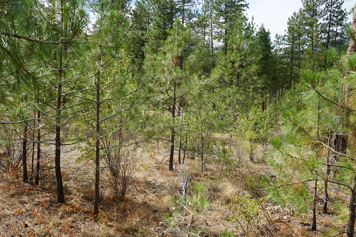 An example of an overgrown forest area, where trees of all sizes prevent other life forms from making full use of the land, while posing a higher risk in the event of a forest fire.