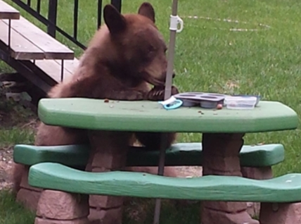 This bear stopped in for a light lunch of chestnuts in the backyard of a Tebo Drive property in Coldstream.