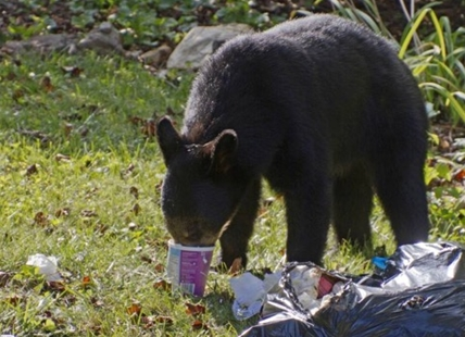 Black bear reports are up across the board in B.C. this year.