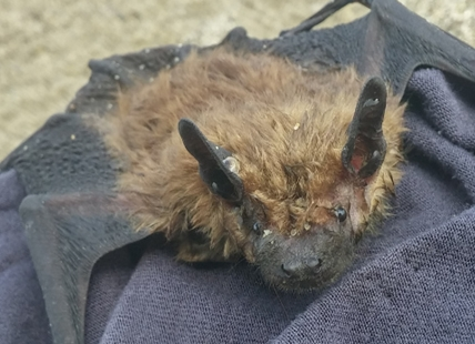The bat just after Valerie Wilson found it in the Thompson River.