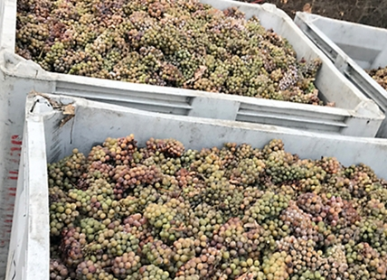 The Okanagan's annual icewine harvest is expected to get underway later this week.