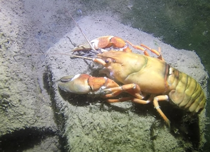 Kevin Aschhoff saw this 10-12 inch long signal crayfish during a night dive in Okanagan Lake.