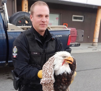 Local Conservation Officer Joel Kline attended to secure the injured eagle in a kennel.