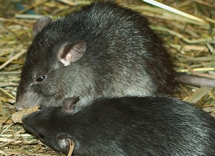 Two black rats (rattus rattus) from a zoo in Germany.