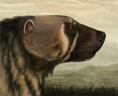 An artist-rendering of the Plesiogulo wolverine, a creature estimated to be the size of a small bear that roamed the earth about five million years ago.