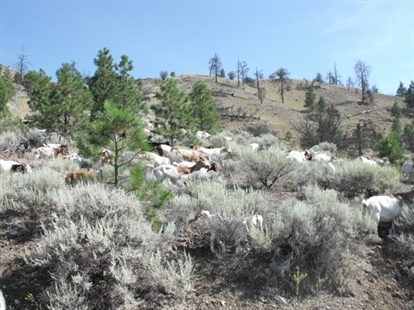 Around 300 goats were brought to Kamloops as a mode of natural weed control in city parks, July 29, 2014.