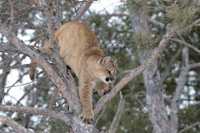 Kelowna conservation officers put down a cougar in Black Mountain backyard Saturday morning.