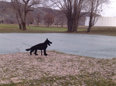 Kamloops Golf and Country Club uses a dog decoy to help keep the geese off newly seeded areas.