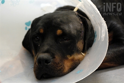 Rocky, an eight-month-old Rottweiler, was one of three dogs seriously injured by an attacker last week.