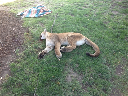 This cougar was shot by conservation officers after killing a family's dog.