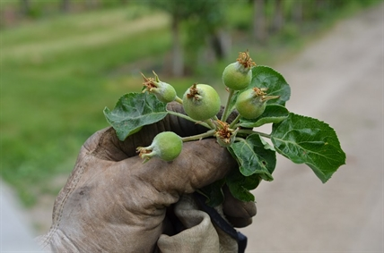 The 'King' apple growing in the centre of a bud of fruits will make the best product. Other fruits will be pinched off to make room for the King, sparing the tree's sugars for the next grow season.