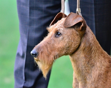 D'Art, an Irish terrier, won Best in Breed at the 140th annual Westminster Kennel Club.