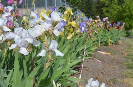 Falkland gardener Marianne Unruh has over 250 different colours of irises — and plans to have a lot more.