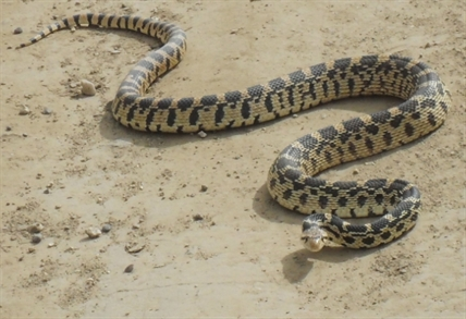 Gopher snake found slithering along a backroad near Winfield.