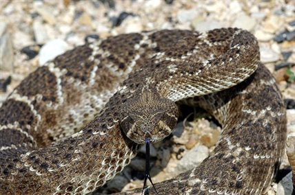 It's rattlesnake season in the B.C.'s interior and WildSafe B.C. provincial coordinator Frank Ritcey has some tips on how to keep you and your pets safe.