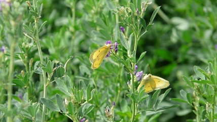 Clouded Sulphur butterflies pairing off in a field of alfalfa north of Armstrong along Highway 97.