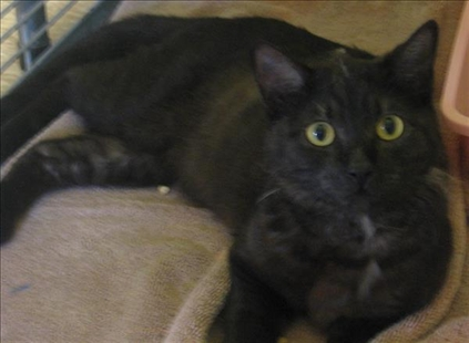 Honey is a domestic short hair cross. She's black and tortoiseshell. She's a spayed adult.