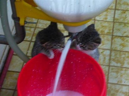 This picture of kittens playing in cream was posted by Gort's Gouda to their Facebook page.