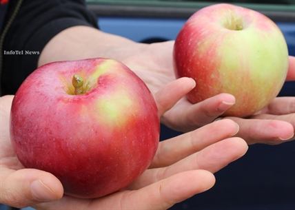 Orchadist Dave Evans of Oliver says his Okana apple, on left, has more red and is better than a Spartan apple, on right.