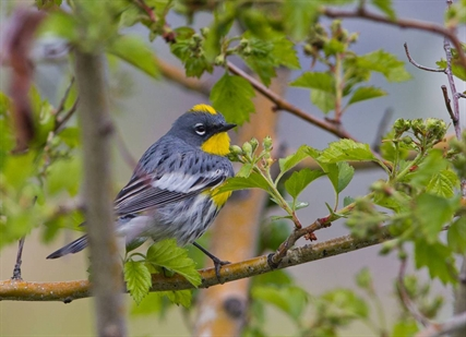 A yellow-rumped warbler is one of many birds showcased in the calendar.