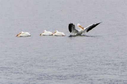 Annemarie de Jong spotted these Pelicans out of her kitchen window in Peachland this morning.
