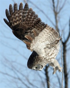 A great grey owl dives after prey in a field on the outskirts of Ottawa on Jan. 30, 2005.