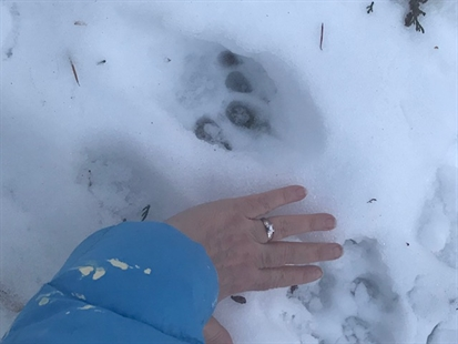 The cougar's footprints.