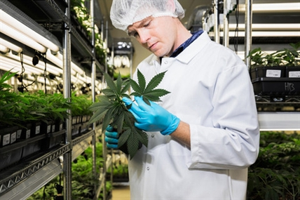 One of the workers at the Tweed Inc. medical marijuana facility in Smith Falls, Ont.