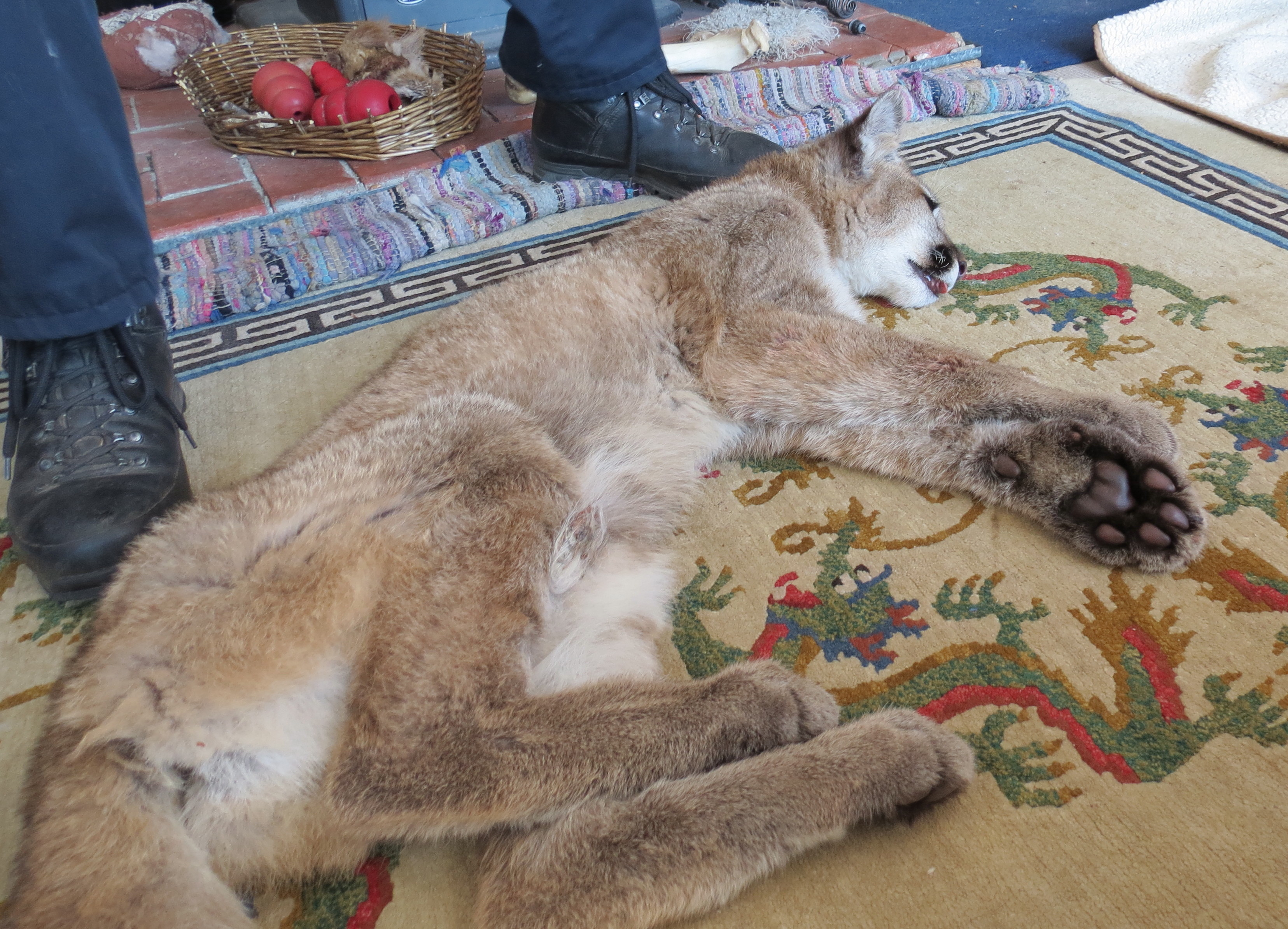 cougar discovered inside a home  chewing on a dog toy