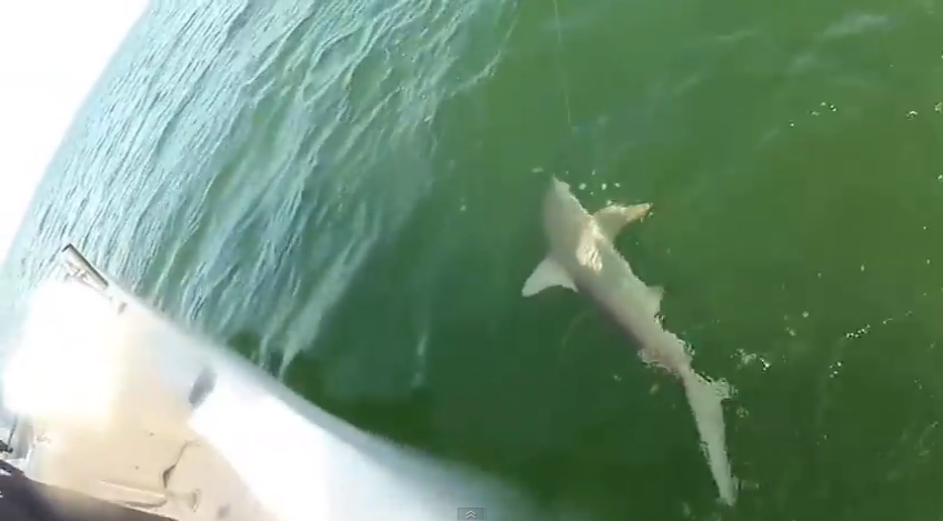 Giant fish eats shark of the hook in one bite infonews for Giant fish hook