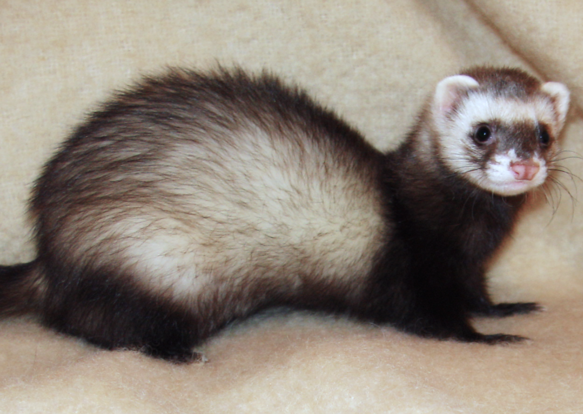 Cops Pet Ferrets Chew Off Newborn Girl S Nose Part Of