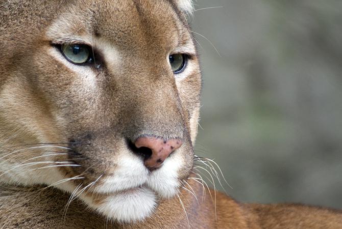 inverse cougar penticton