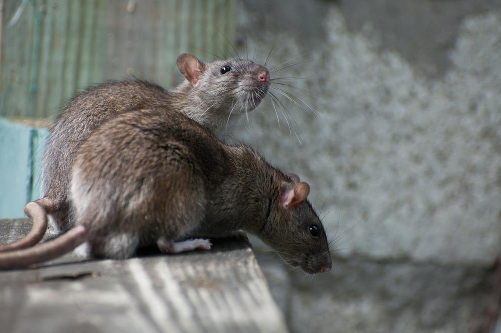 West Kelowna Wants The Province To Lead Battle Against Rats Infonews